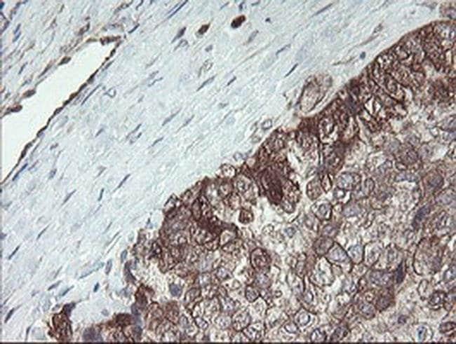 TSC22D1 Mouse anti-Human, Clone: OTI3B10, liquid, TrueMAB  100 µL;