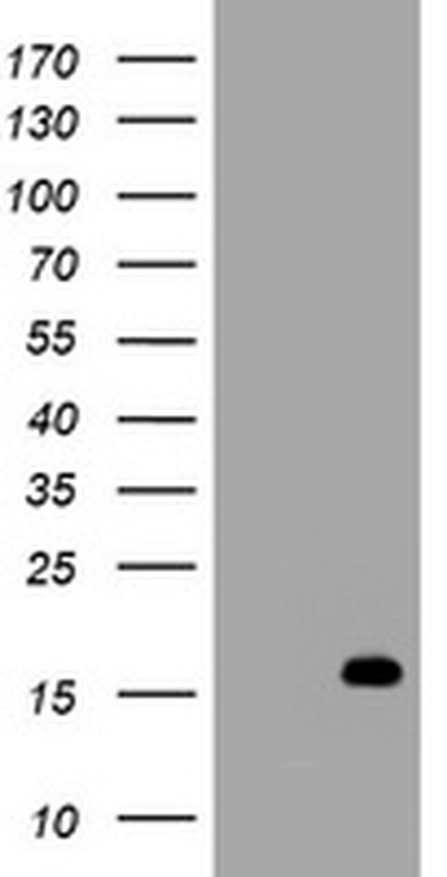 TSC22D1 Mouse anti-Human, Clone: OTI1G1, liquid, TrueMAB  100 µL;