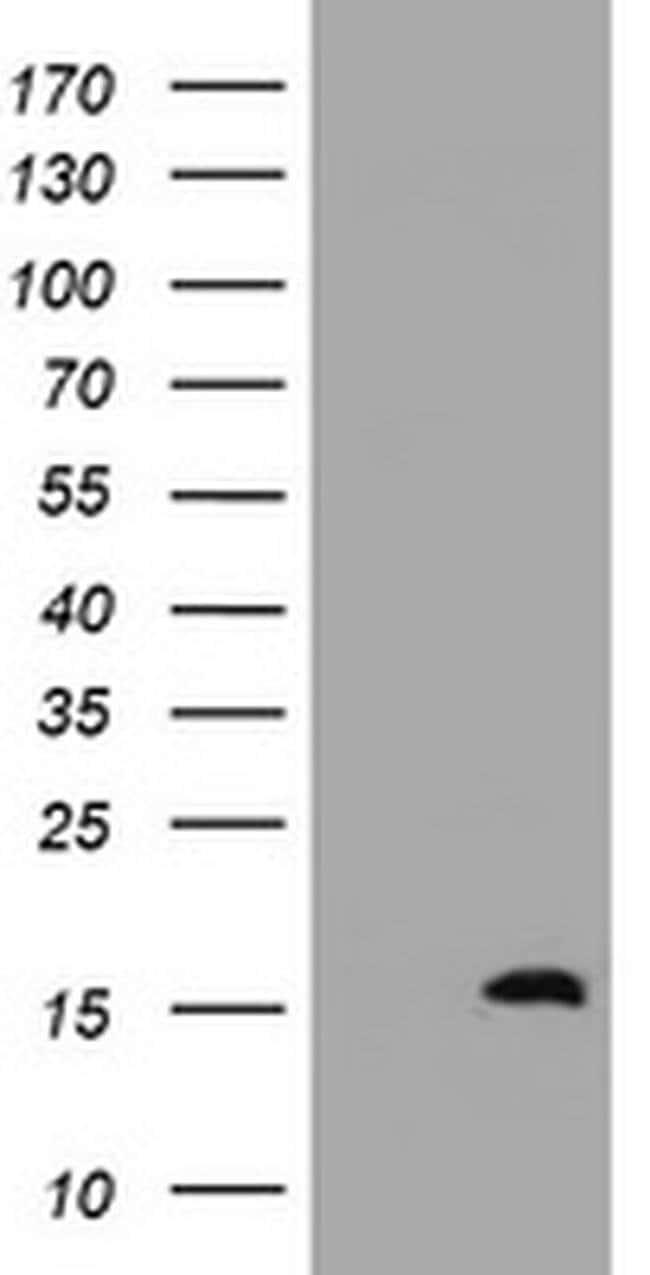 TSC22D1 Mouse anti-Human, Clone: OTI2G3, liquid, TrueMAB  100 µL;