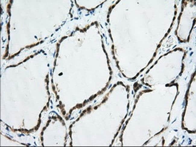 TTC32 Mouse anti-Human, Clone: OTI2B9, liquid, TrueMAB  100 µL; Unconjugated
