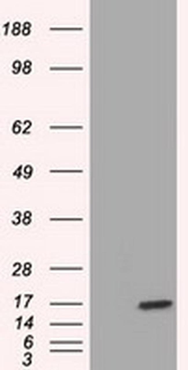 TTC32 Mouse anti-Human, Clone: OTI3E11, liquid, TrueMAB  100 µL; Unconjugated