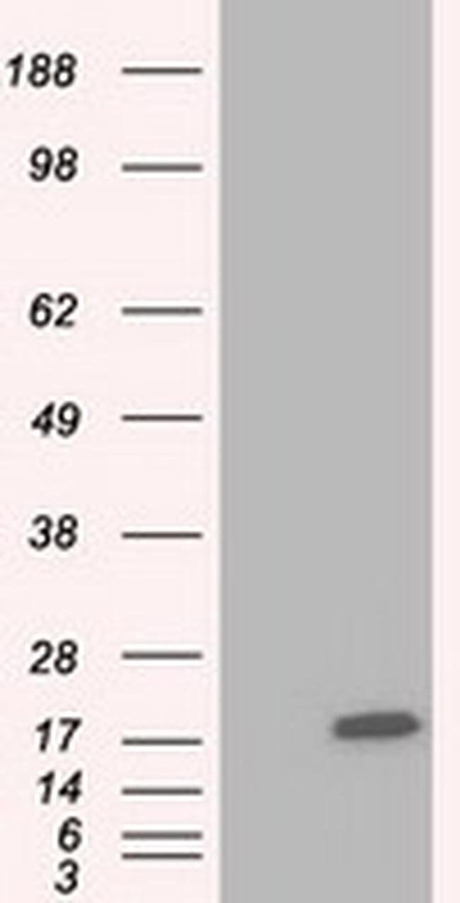 TTC32 Mouse anti-Human, Clone: OTI5C12, liquid, TrueMAB  100 µL; Unconjugated