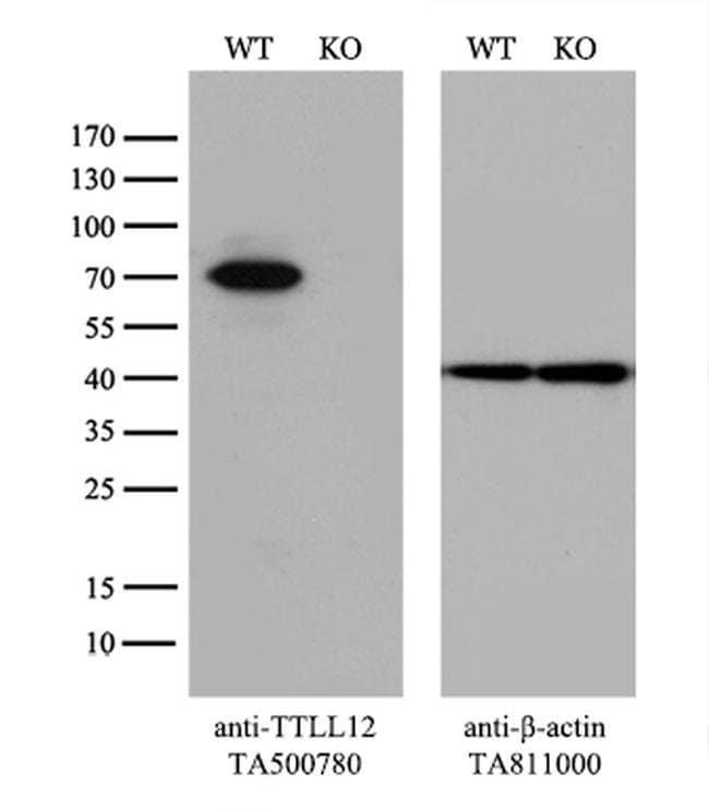 TTLL12 Mouse anti-Canine, Human, Clone: OTI5H3, liquid, TrueMAB  100 µL;