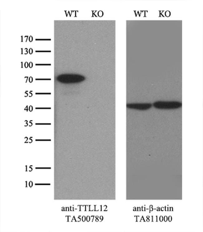 TTLL12 Mouse anti-Human, Rat, Clone: OTI4B2, liquid, TrueMAB  100 µL;