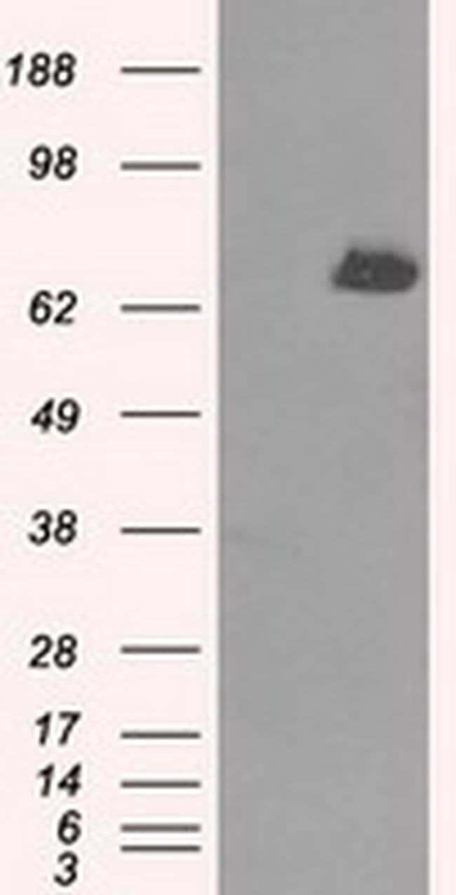 TTLL12 Mouse anti-Human, Clone: OTI6E4, liquid, TrueMAB  100 µL; Unconjugated
