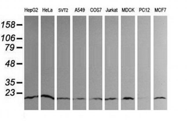 UBE2G2 Mouse anti-Canine, Human, Mouse, Clone: OTI1D7, liquid, TrueMAB