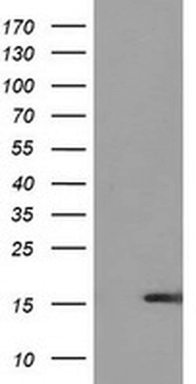 UBL4A Mouse anti-Human, Clone: OTI2E2, liquid, TrueMAB  100 µL; Unconjugated