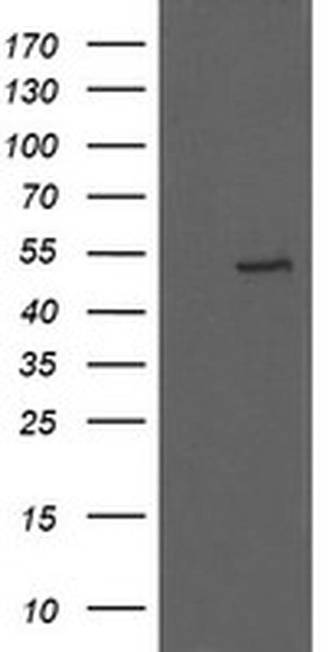 UBOX5 Mouse anti-Human, Clone: OTI8D5, liquid, TrueMAB  100 µL; Unconjugated