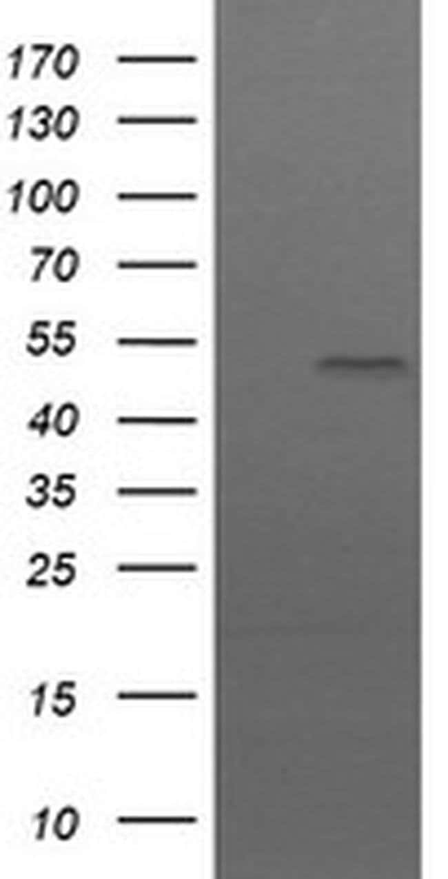 UBOX5 Mouse anti-Human, Clone: OTI 7G1, liquid, TrueMAB  100 µL; Unconjugated