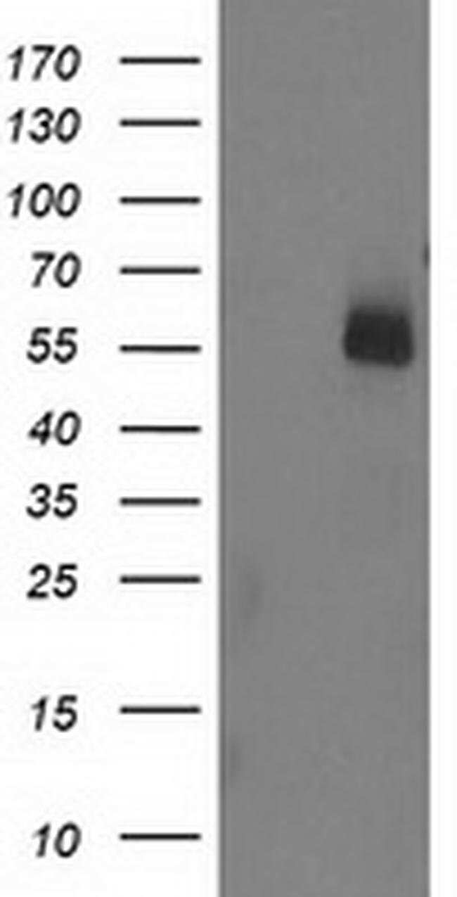 UBOX5 Mouse anti-Human, Clone: OTI5A2, liquid, TrueMAB  100 µL; Unconjugated