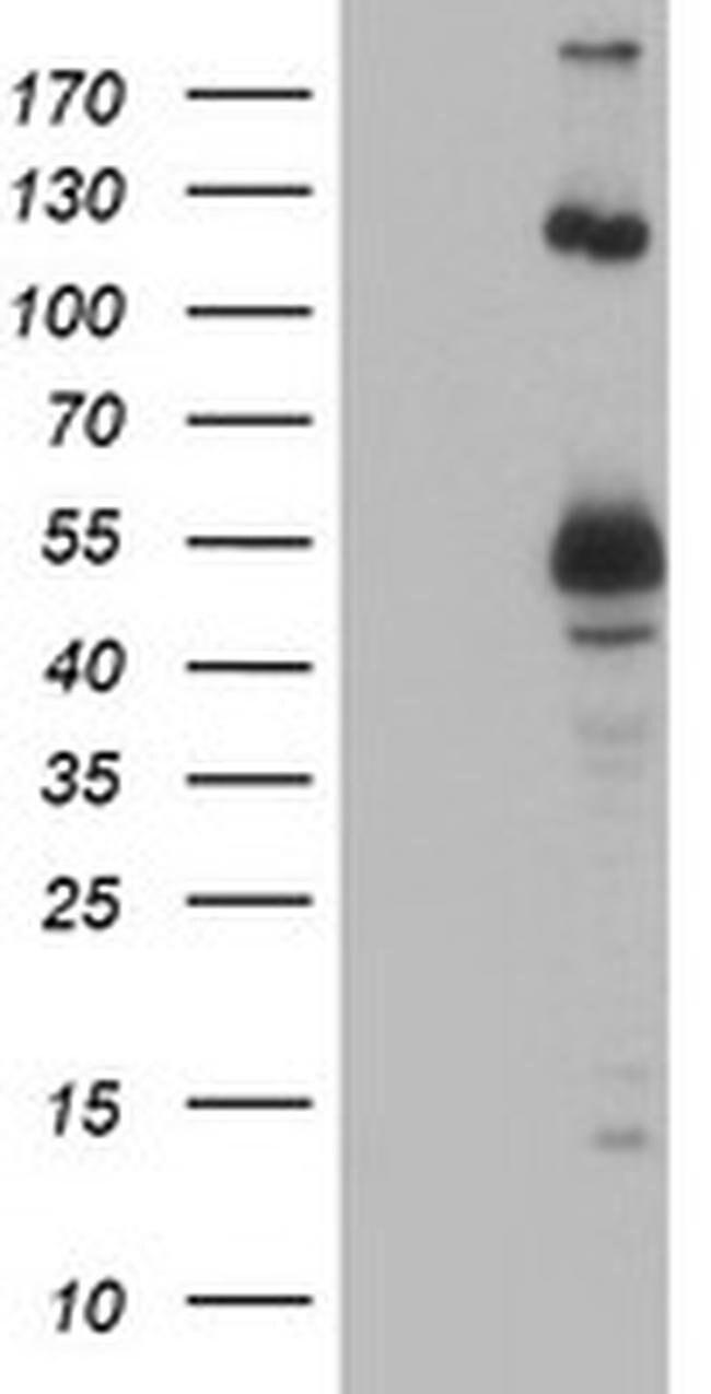 UBOX5 Mouse anti-Human, Clone: OTI1C5, liquid, TrueMAB  100 µL; Unconjugated