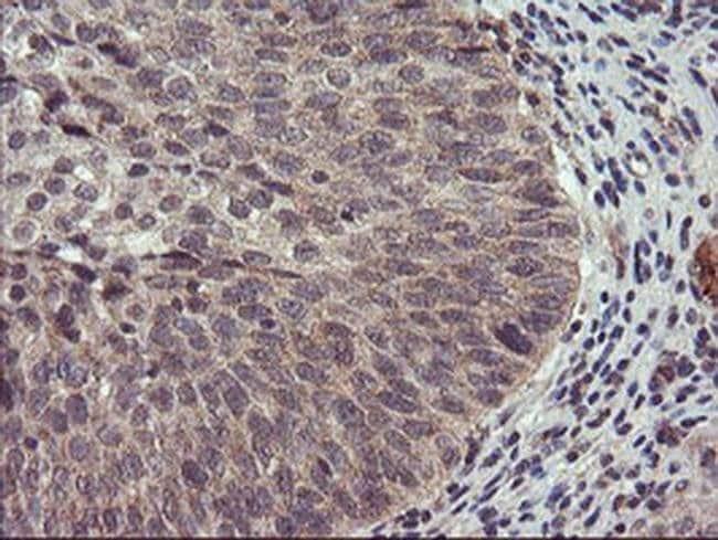 USP10 Mouse anti-Human, Clone: OTI1H9, liquid, TrueMAB  100 µL; Unconjugated