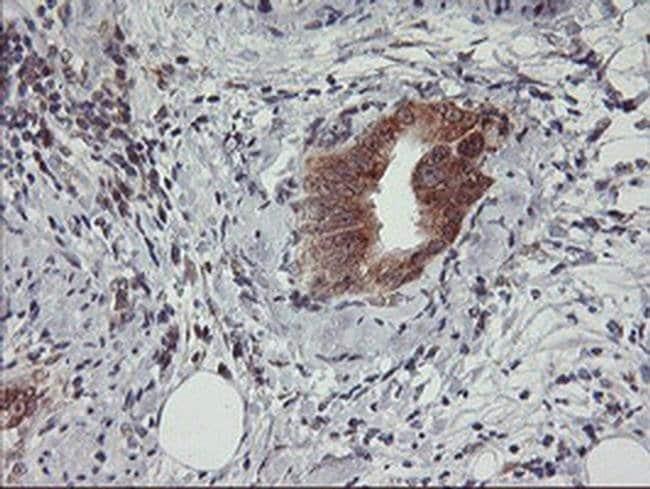 USP10 Mouse anti-Human, Clone: OTI1A10, liquid, TrueMAB  100 µL; Unconjugated