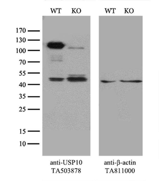 USP10 Mouse anti-Canine, Human, Mouse, Rat, Clone: OTI2E1, liquid, TrueMAB
