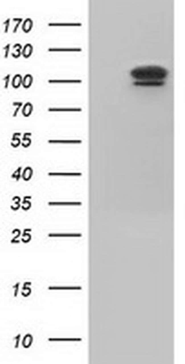 USP5 Mouse anti-Canine, Human, Rat, Clone: OTI1F8, liquid, TrueMAB  100