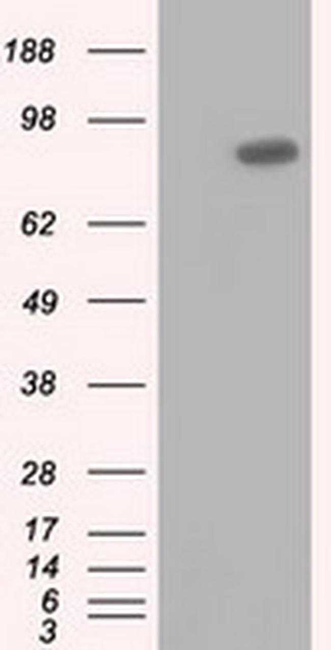 USP5 Mouse anti-Human, Clone: OTI2F5, liquid, TrueMAB  100 µL; Unconjugated