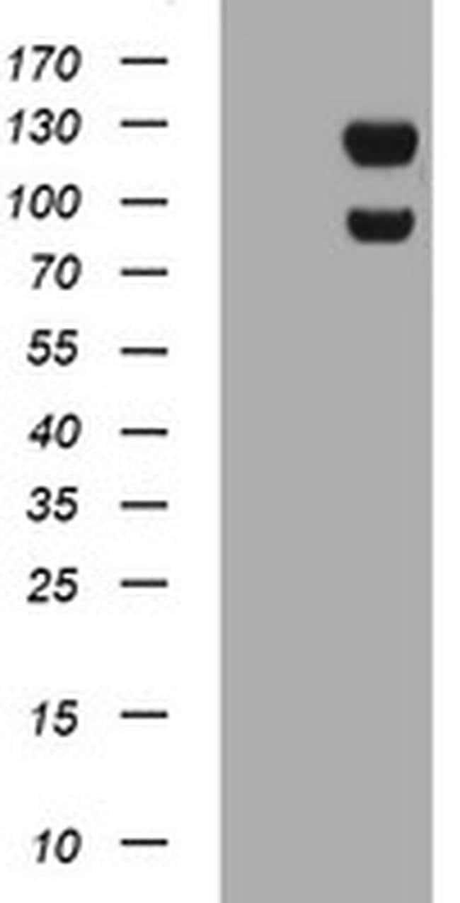 USP7 Mouse anti-Human, Clone: OTI3C1, liquid, TrueMAB  100 µL; Unconjugated