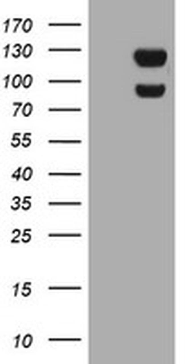 USP7 Mouse anti-Human, Clone: OTI3F7, liquid, TrueMAB  100 µL; Unconjugated