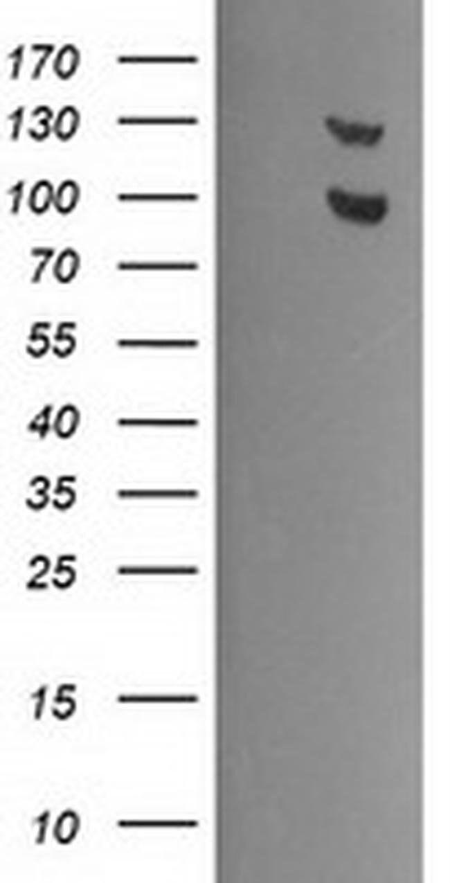 USP7 Mouse anti-Human, Clone: OTI3C7, liquid, TrueMAB  100 µL; Unconjugated