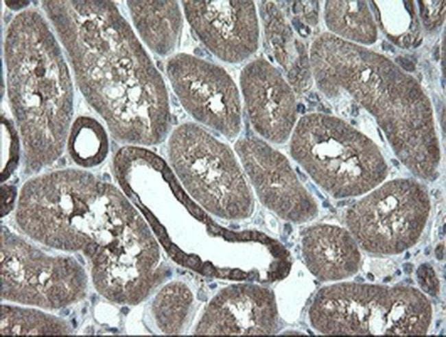 VBP1 Mouse anti-Human, Clone: OTI1D1, liquid, TrueMAB  100 µL; Unconjugated