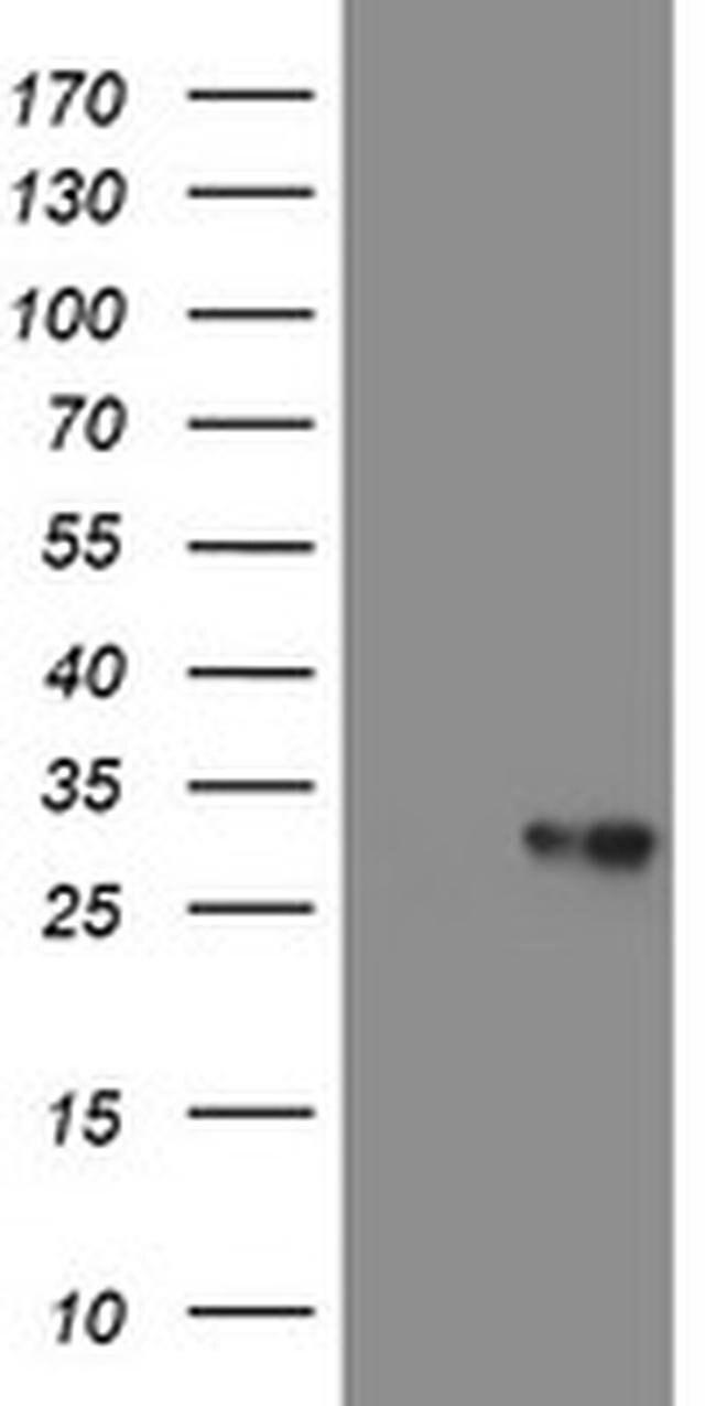VBP1 Mouse anti-Canine, Human, Mouse, Rat, Clone: OTI2A3, liquid, TrueMAB