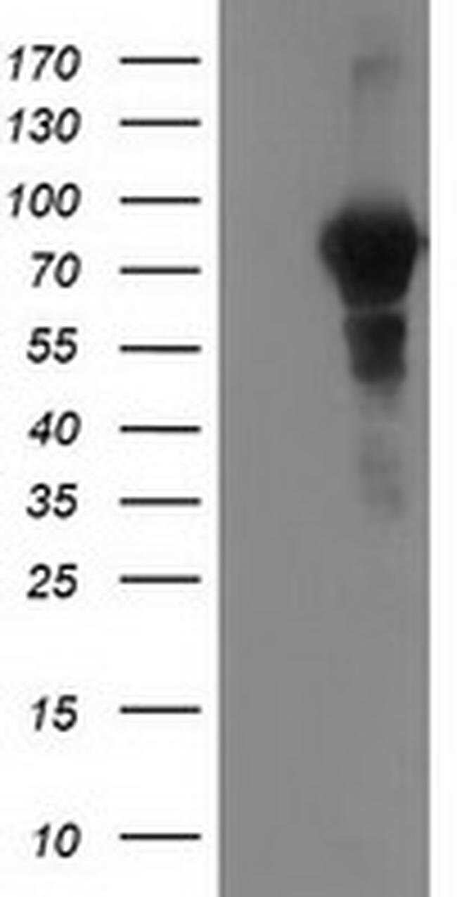 VCAM1 Mouse anti-Canine, Human, Clone: OTI4A10, liquid, TrueMAB  100 µL;