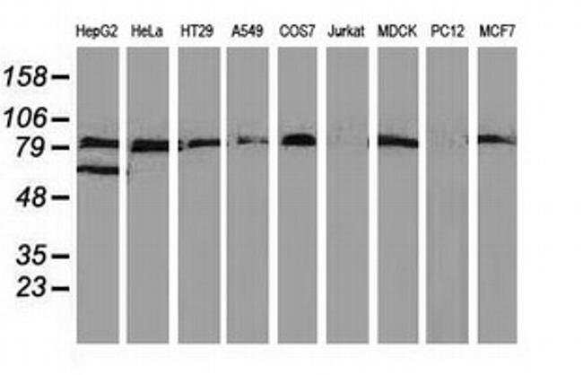 VCAM1 Mouse anti-Canine, Human, Clone: OTI3H10, liquid, TrueMAB  100 µL;