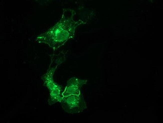 VSIG2 Mouse anti-Human, Clone: OTI11B3, liquid, TrueMAB  100 µL; Unconjugated