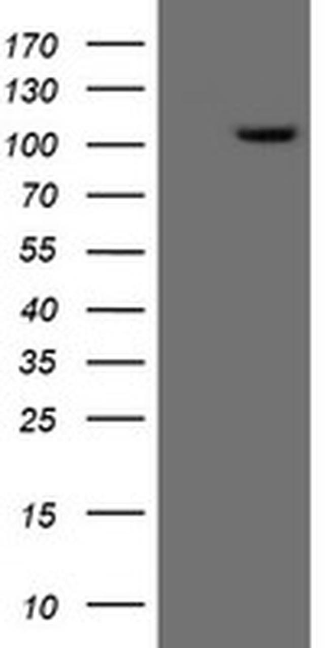 XPF Mouse anti-Human, Clone: OTI3H7, liquid, TrueMAB  100 µL; Unconjugated
