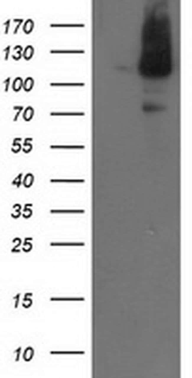 XPF Mouse anti-Canine, Human, Mouse, Rat, Clone: OTI3H10, liquid, TrueMAB