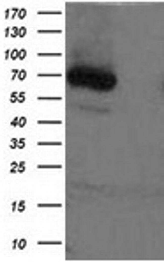 XPNPEP1 Mouse anti-Human, Clone: OTI1E3, liquid, TrueMAB  100 µL;