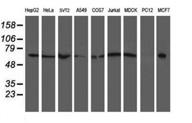 XPNPEP3 Mouse anti-Canine, Human, Mouse, Rat, Clone: OTI5G2, liquid, TrueMAB