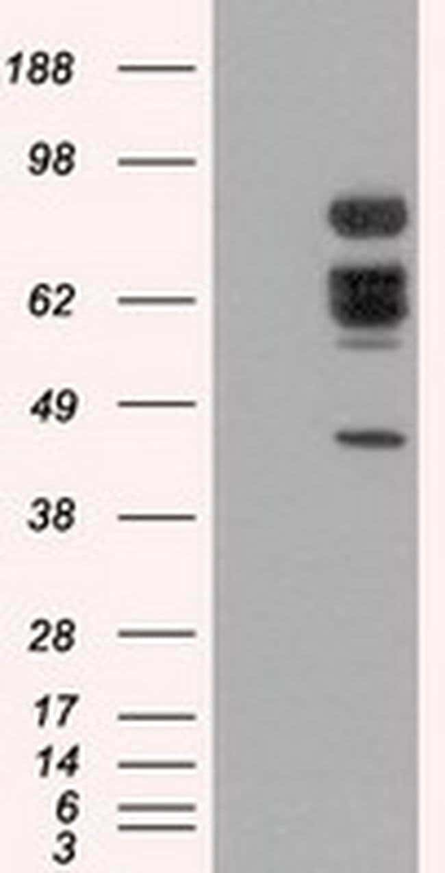 XRCC1 Mouse anti-Human, Clone: OTI2G8, liquid, TrueMAB  100 µL; Unconjugated