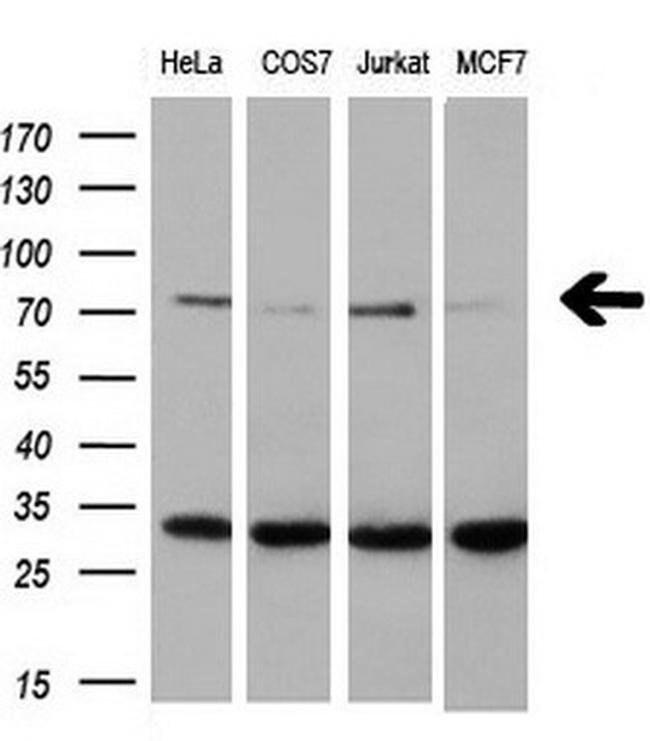 XRCC1 Mouse anti-Human, Clone: OTI2D8, liquid, TrueMAB  100 µL; Unconjugated