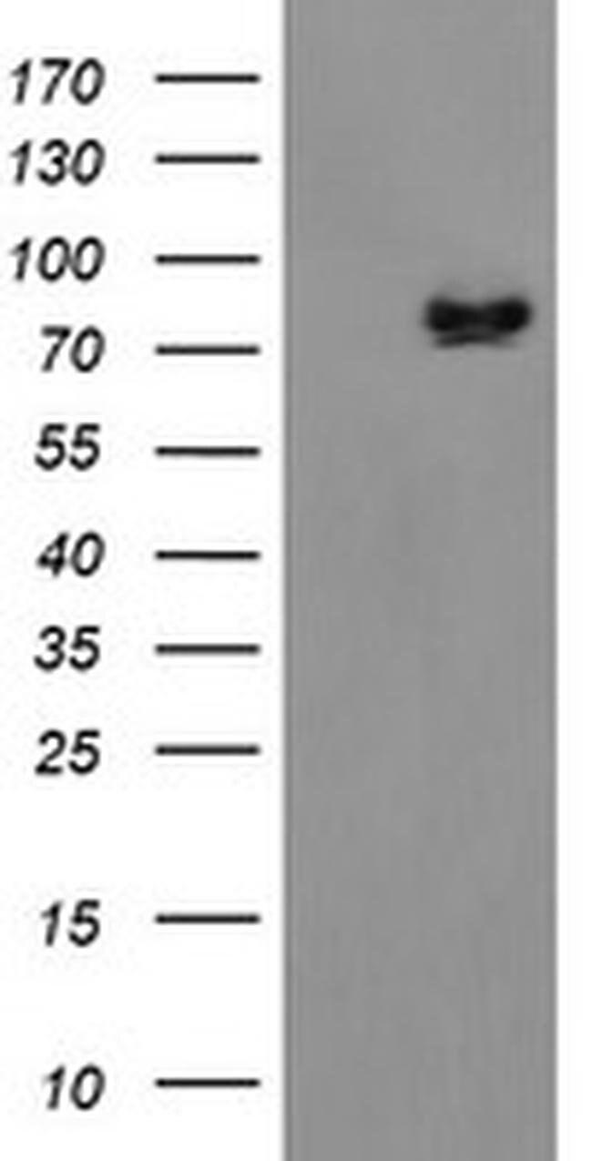 ZBED1 Mouse anti-Human, Clone: OTI1F7, liquid, TrueMAB  100 µL; Unconjugated
