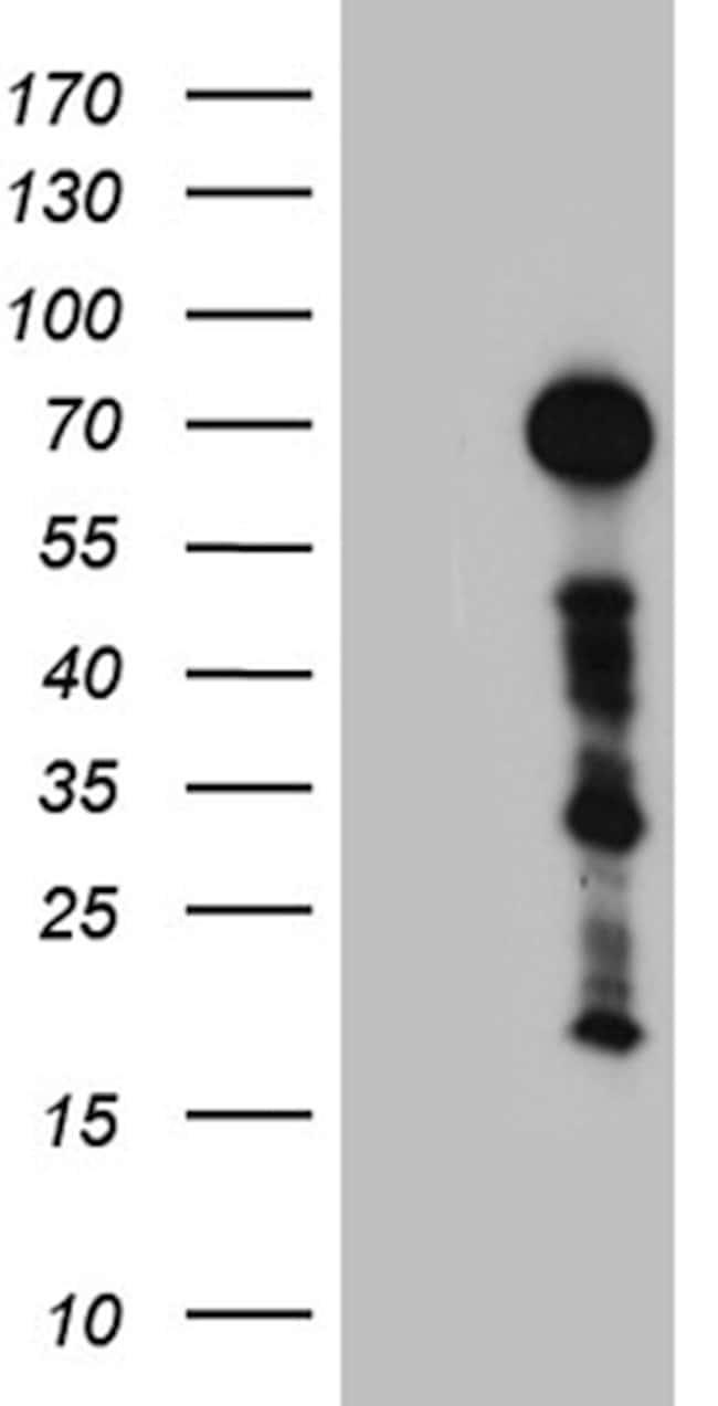 ZFP37 Mouse anti-Human, Clone: OTI3H4, lyophilized, TrueMAB  100 µg;