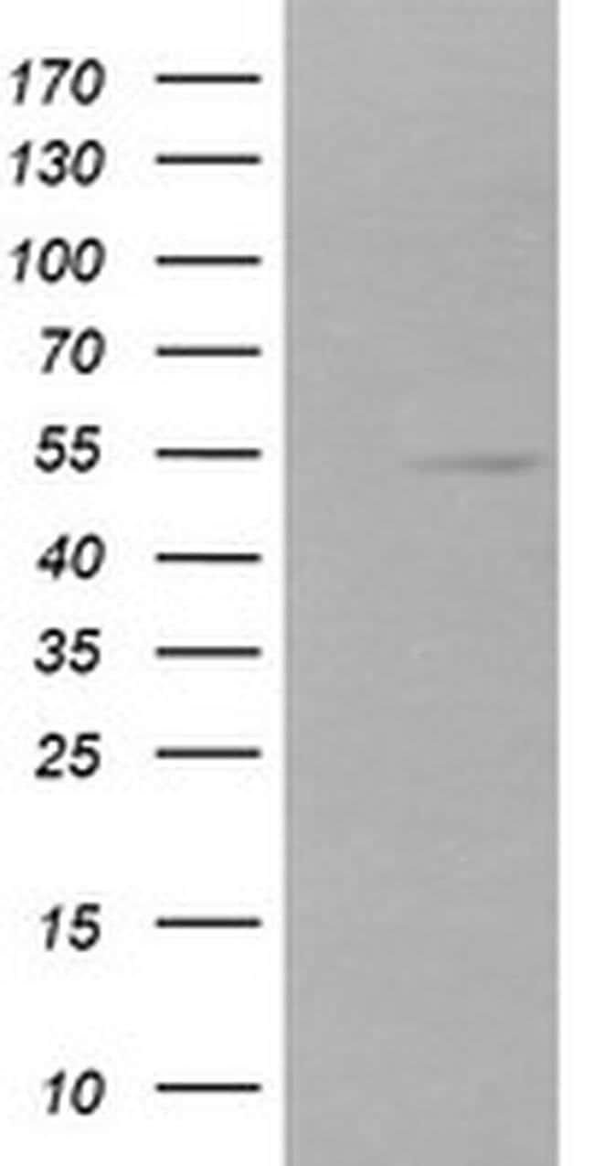 ZSCAN21 Mouse anti-Canine, Human, Rat, Clone: OTI1H7, liquid, TrueMAB