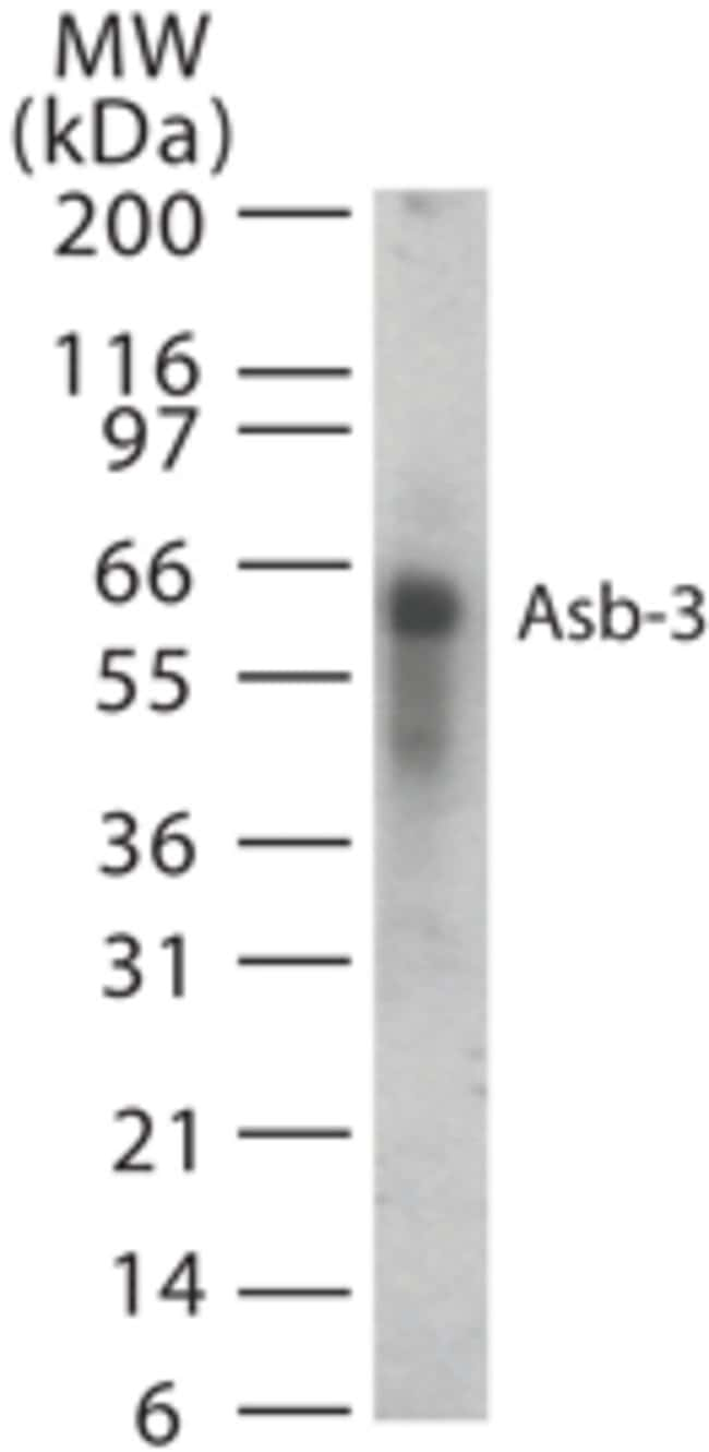 ASB3 Rabbit anti-Human, Polyclonal, Invitrogen 200 μL; Unconjugated:Antibodies