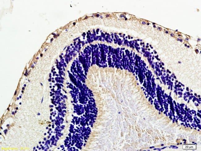 Caveolin-1 Rabbit anti-Human, Polyclonal, Bioss  100 µL; Unconjugated