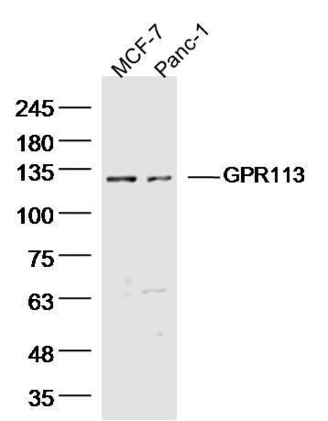 GPR113 Rabbit anti-Human, Polyclonal, Bioss  100 µL; Unconjugated