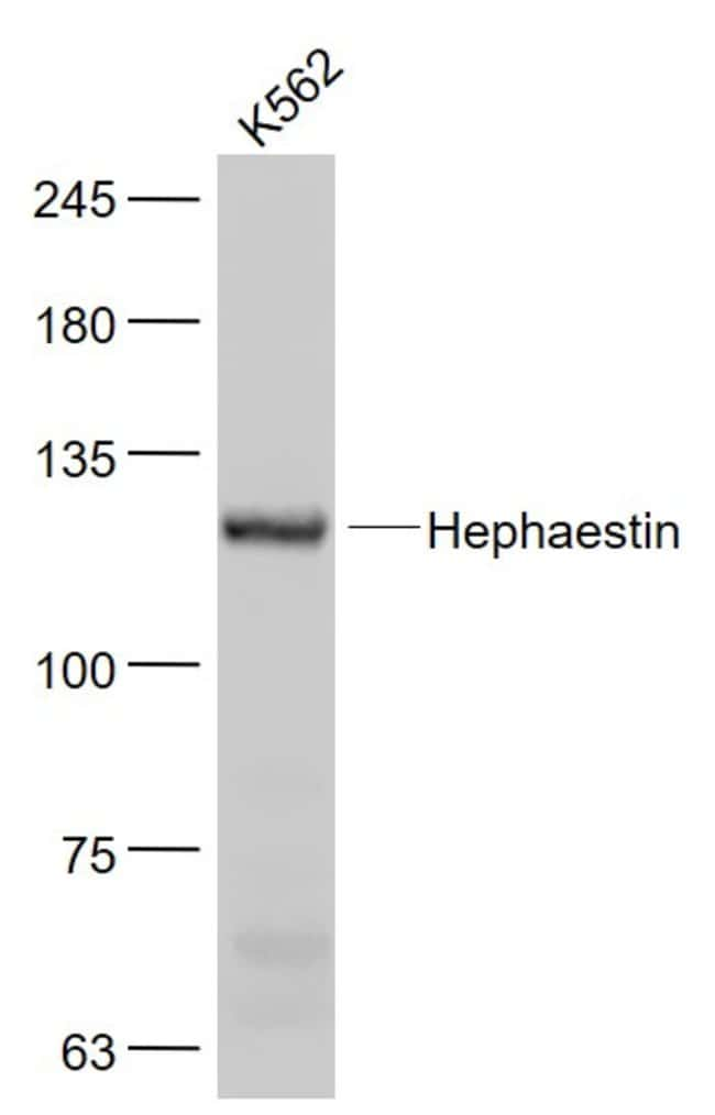 Hephaestin Rabbit anti-Human, Polyclonal, Bioss  100 µL; Unconjugated