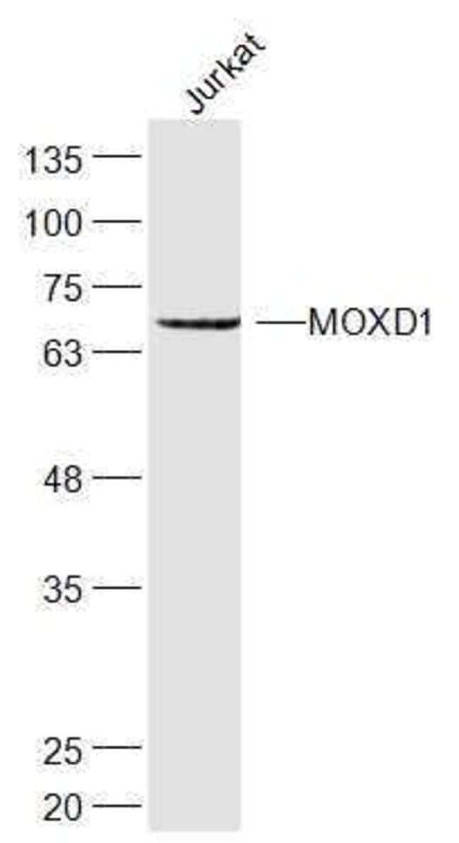 MOXD1 Rabbit anti-Human, Polyclonal, Bioss  100 µL; Unconjugated