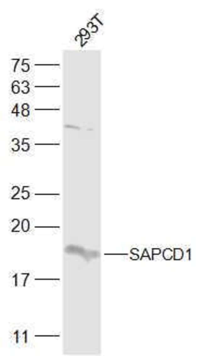 SAPCD1 Rabbit anti-Human, Polyclonal, Bioss  100 µL; Unconjugated