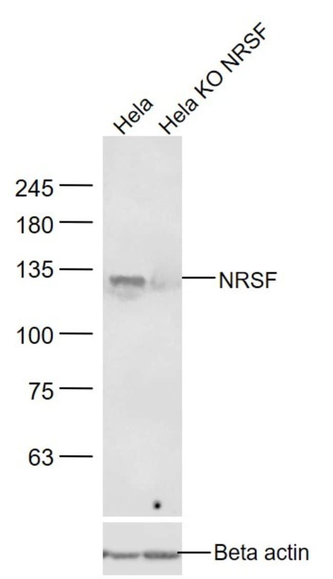 NRSF/REST Rabbit anti-Human, Polyclonal, Bioss  100 µL; Unconjugated