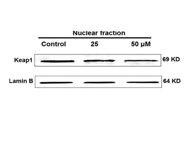 KEAP1 Rabbit anti-Human, Polyclonal, Bioss  100 µL; Unconjugated