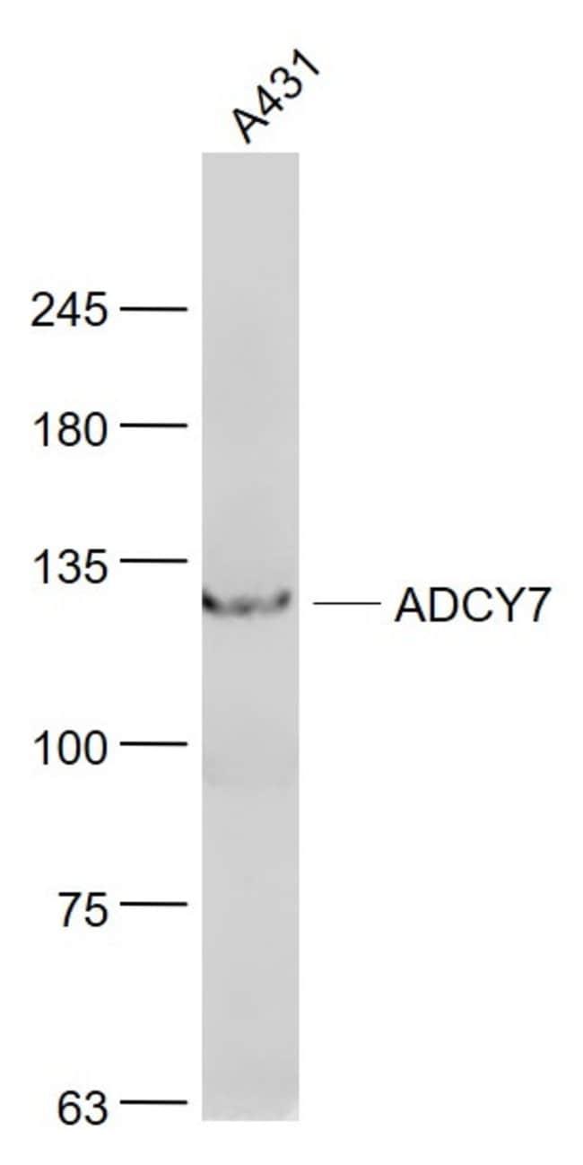 ADCY7 Rabbit anti-Human, Polyclonal, Bioss  100 µL; Unconjugated