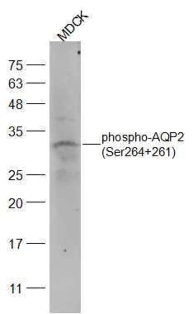 Phospho-AQP2 (Ser264, Ser261) Rabbit anti-Human, Polyclonal, Bioss  100