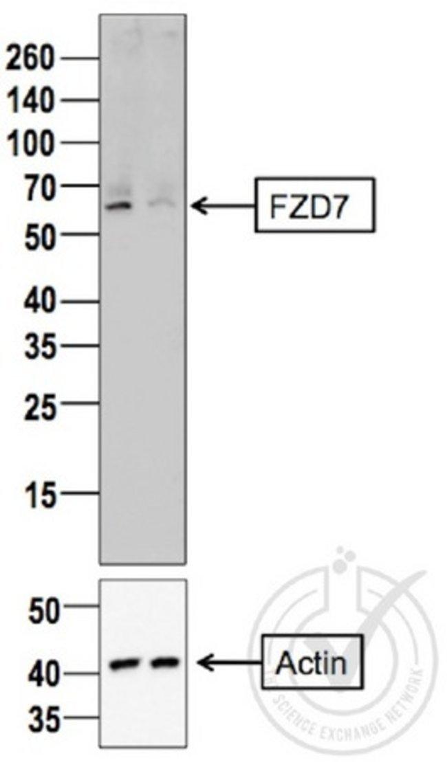 Frizzled 7 Rabbit anti-Human, Polyclonal, Bioss  100 µL; Unconjugated