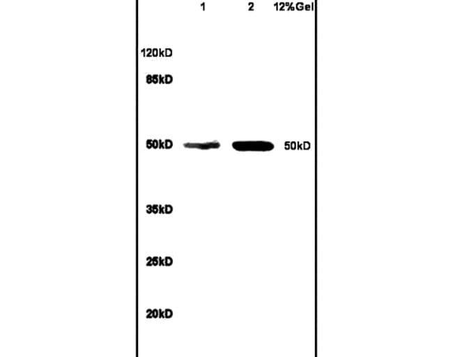 Bcl3 Rabbit anti-Human, Polyclonal, Bioss  100 µL; Unconjugated