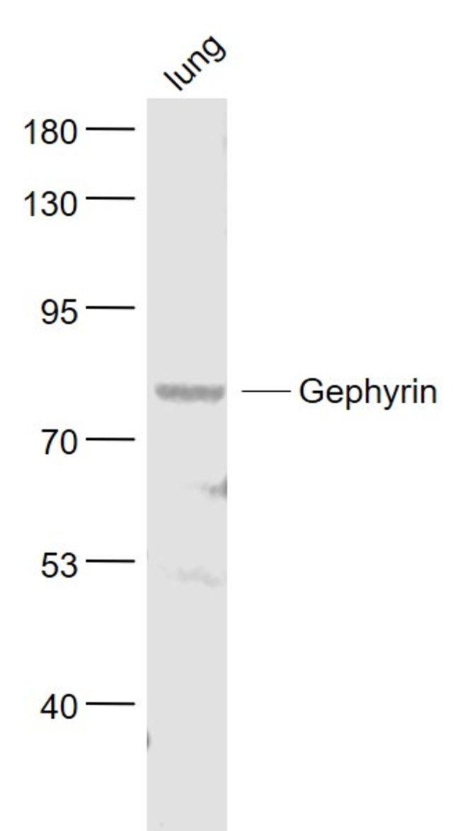 Gephyrin Rabbit anti-Human, Polyclonal, Bioss  100 µL; Unconjugated